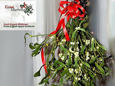 Real Fresh Mistletoe Decorations! Large Bunch of Mistletoe Tied with Red Ribbon!