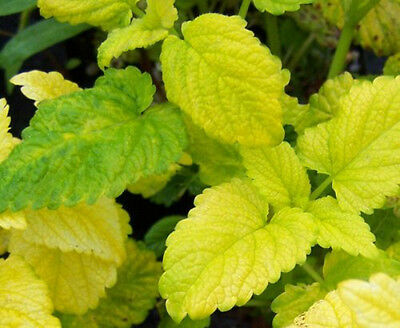 Lemon Balm All Gold aromatic herb loved by bees and butterflies 9cm pot