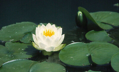 10 White Alba Water Lily Plant For Your Pond Or Lake