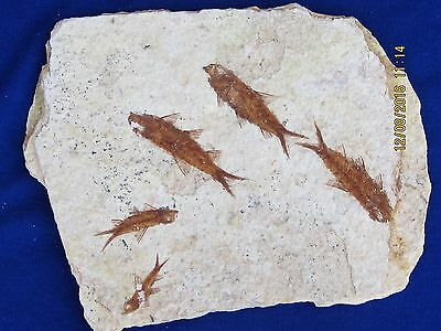 Fossil Fish  Plate Of Five