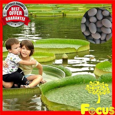 10-100+ SEEDS FRESH & RARE Victoria Amazonica Giant Water Lily Lotus- Hydrophyte