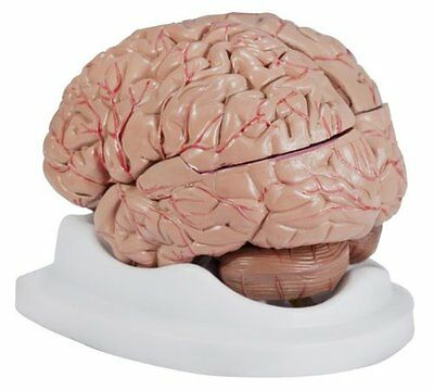 Budget Brain With Arteries Model