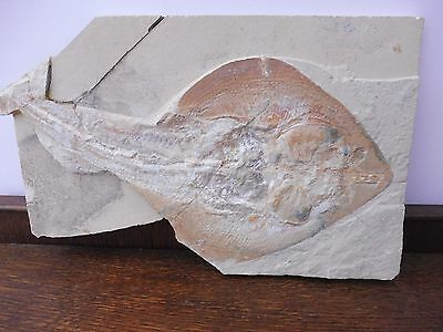 Rhinobatos (Guitar Fish), Very Large Size (43 cm)  - Lebanon - Cretaceous Period