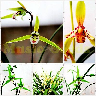 Japanese Smiling Face Orchid Seeds x 100 Laughing Bee Orchid Free P&P Bee Orchid