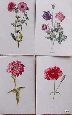 Four Antique Botanical Flower Print 1890s by Hulme -  PINK - 052  Verbena - Red