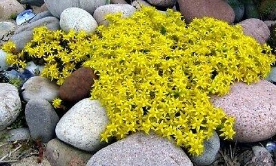 Yellow Sedum Seed, Yellow Acre, Flowering Ground Cover Seed, Heirloom Seeds 50ct