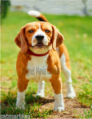 METAL MAGNET Beagle Puppy Facing Camera Dog Beagles Dogs Puppies MAGNET