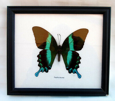 """Real Large 4 3/8"""" Papilio Blumei Butterfly Taxidermy Framed Insect Home Decor"""