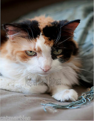 METAL MAGNET Calico Cat Looking At Camera Cats MAGNET