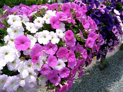 Petunia Seeds x 1000 Many Colours Container Patio Garden Plants Easy Growers