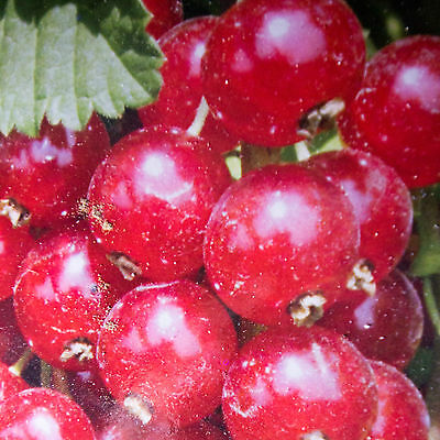 Red currant plants, berry fruit tree/schrub, international shipping