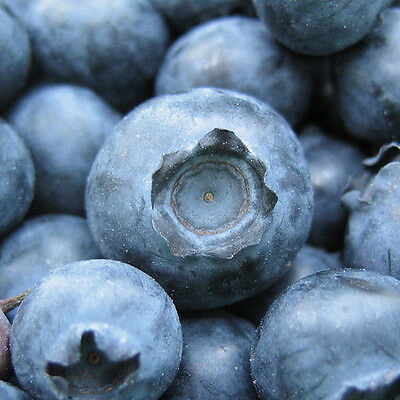Blueberry plants or cuttings, fruit schrub, international shipping