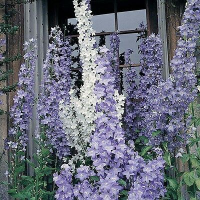 Campanula Cottage Mixed Seeds  (150 Seeds) Hardy Perennial