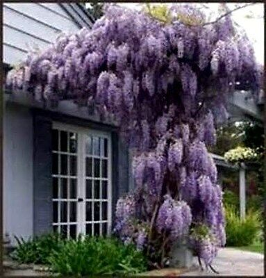 Beautiful Purple Wisteria Vine Seeds- Hardy Perennial - Grows Fast COMB. S/H