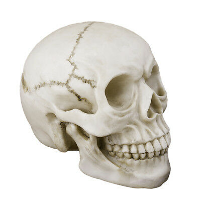 Cool White New Human Skull Replica Resin Model Medical Realistic lifesize 1:1