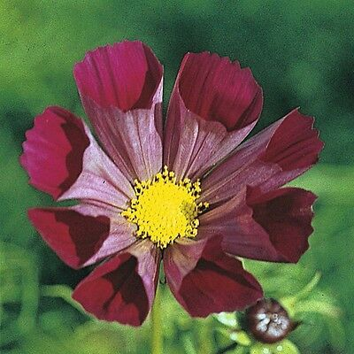 Cosmos Pied Piper Red 50 Seeds HH Annual Flower