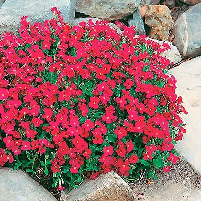 Aubrieta 'Cascade Red' Rock Cress - 200 Seeds - Hardy Perennial