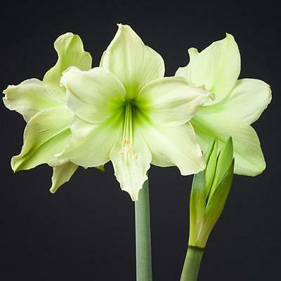 Amaryllis Seeds x 100 Super Colour Mix House Plans Of Stunning Beauty  Free Post