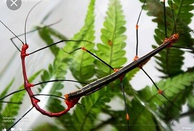 fern stick insect 10 eggs
