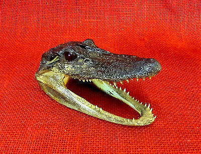 """Authentic Alligator Skull 5 1/2"""", # 8134626, Taxidermy, Paper Weight, Display"""