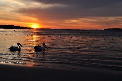 "Australian Photograph of Pelican Sunset over the Beach. 12 x 18"" Size"