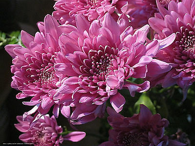 Chrysanthemum Seeds x 100 Beautiful Colours Easy Growing Plant Seeds Free Post