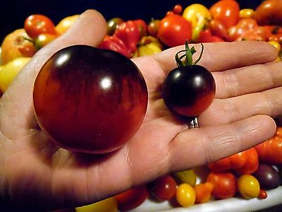 Indigo Apple Tomato Seeds - Early Ripening and Sweet Flavor   COMBINED S/H