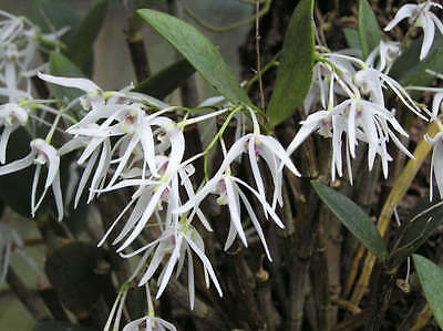 """Feather Orchid """"white"""" Seeds X 75 Dendrobium  Aemulum Ironbark Orchid Uk Seller"""