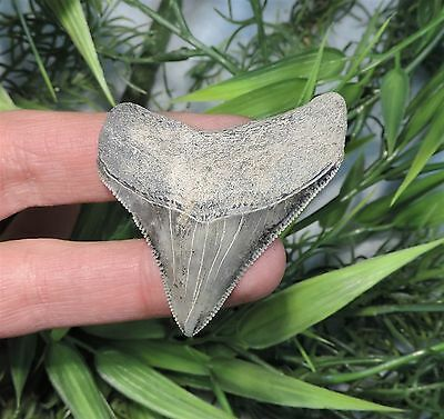 Nicely Serrated 2 1/8'' Land Found Megalodon Fossil Sharks Tooth Teeth