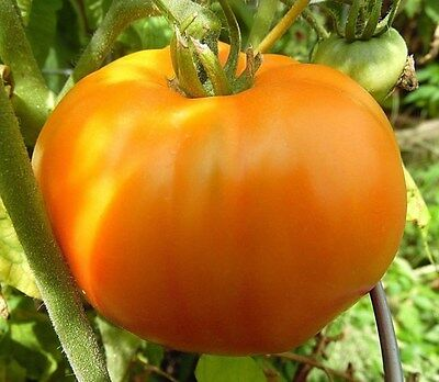 Moonglow Tomato Seeds -Very Sweet and Meaty! Comb. S/H See our store!