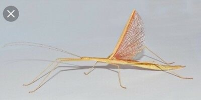 pink winged stick insects adult pair