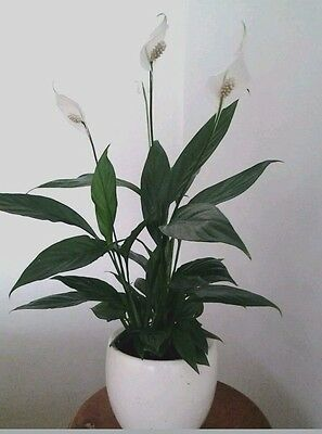 1 Peace Lily Spathiphyllum Indoor /House Plant 40cm + tall Air Cleaner Freshener