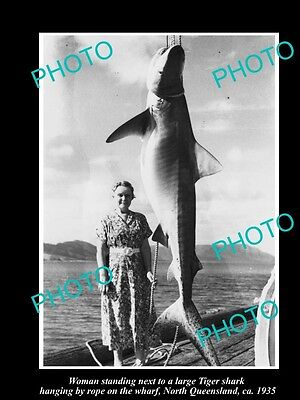 Old Large Historic Fishing Photo Of Large Tiger Shark Being Caught 1935, Qld