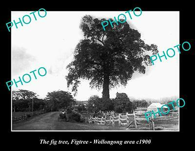 OLD LARGE HISTORIC PHOTO OF FIGTREE NSW, THE OLD FIG TREE WOLLONGONG AREA c1900