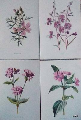 Four Antique Botanical Flower Print 1890s by Hulme -  Pink - 076  Musk Mallow -