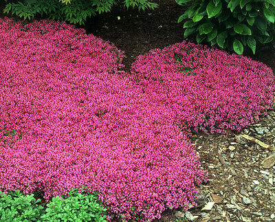 Creeping Thyme Seeds Scarlet, Perennial Heirloom Groundcover Seeds, Hardy 100ct