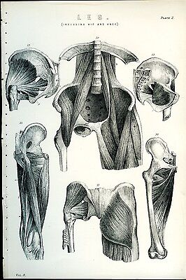 Leg Muscles Hip Knee 1885 Antique Original Print from Engraving  Human Anatomy