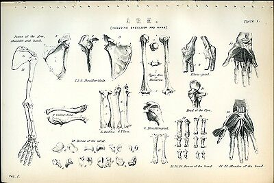 Bones of Arm Shoulder Hand 1885 Original Print from Engraving Human Anatomy
