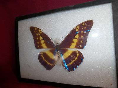 Insect/Butterfly/ Morpho Cyprus From Columbia - Male Certificate Number Stamped