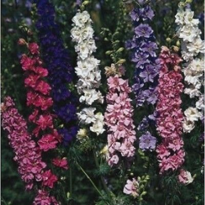 Larkspur Sublime Mixed 200 seeds Hardy Annual Flower
