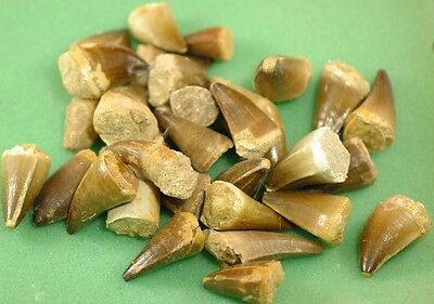 Wholesale Lot Of 10 Loose Natural Mosasaurus Fossil Tooth From Morocco