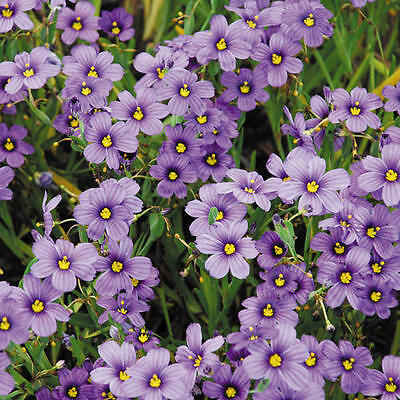 Sisyrinchium Angustifolium, Stout Blue-Eyed Grass - 50 Seeds -Hardy Perennial