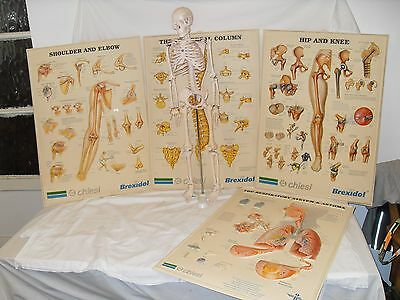 Large Articulted Human Skeleton & 3D Anatomical Charts