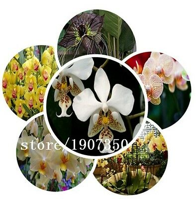 Rainbow Orchid Seeds x 100 Stunning Choice Of Colours Indoor Or Outdoor Orchids