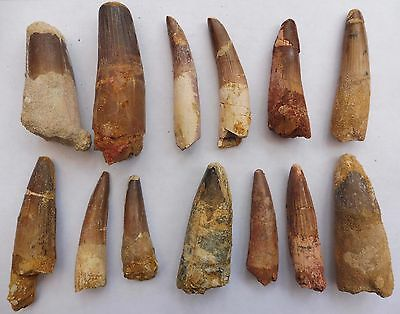 Spinosaurus Teeth from Morocco, Cretaceous Period - Genuine Dinosaur Fossils.