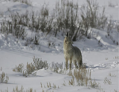 METAL REFRIGERATOR MAGNET Howling Coyote Winter Yellowstone Park Wyoming Travel