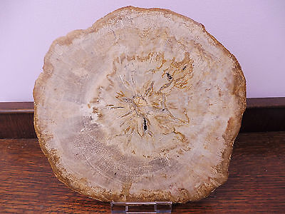 Excellent & Large Fossil Wood Slice - Indonesia