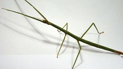 3 X Stick Insect (Ramulus Sp) Sub Adult/Adult