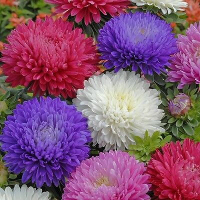 Aster Seeds x 100 Beautiful Mixed Colours Easy Growing Home Or Garden  UK Seller
