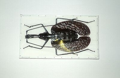 Mormolyce phyllodes....80+ mm....Indonesia....